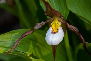 Cypripedium monticola