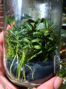 Dendrobium tobaense flask