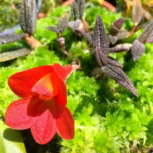 Dendrobium - Australasian Species & Hybrids